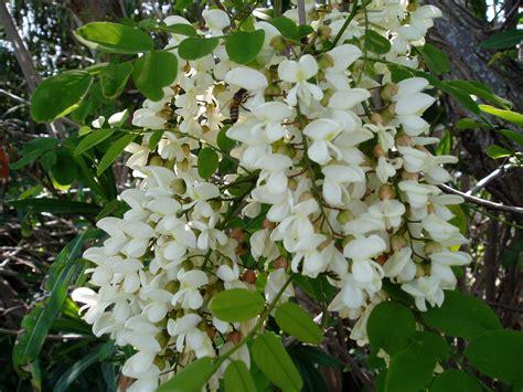 fiori bianchi fiori bianchi a grappolo stratfordseattle
