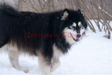 dogs 101 husky dogs 101 siberian husky breeds picture