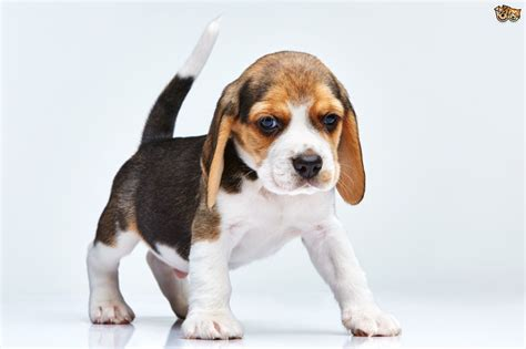beagle dogs beagle breed information buying advice photos and facts pets4homes