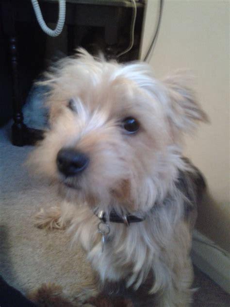 yorkie cross terrier cross breeds picture