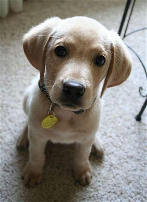 rocky mountain golden retriever rescue 25 best ideas about golden retriever mix on adorable puppies golden