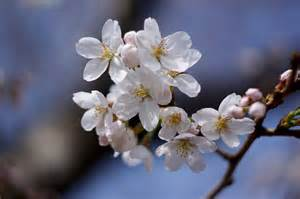 cherry blossoms the history d c s cherry blossoms american forests