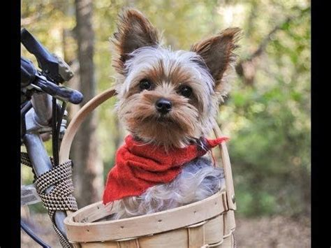how to clean a yorkies the 56 best images about yorkie care on cesar millan