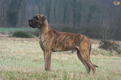 great dogs for great dane breed information buying advice photos and facts pets4homes