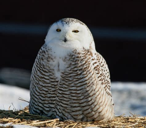 snowy owl the biggest animals kingdom