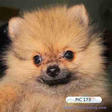 Jual Anjing Pitbull Kaskus dunia anjing jual anjing pomeranian surabaya anakan