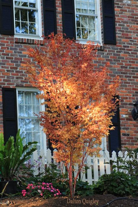 coral bark japanese maple installed   clients home