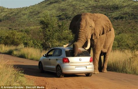 syari eleghant selebrity elephant scratches itself with a car during south african