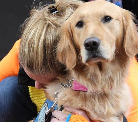 comfort golden retriever golden retriever comfort dogs four legged healers return