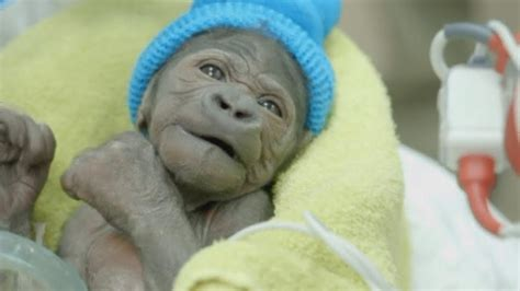 pneumonia after c section baby gorilla with collapsed lung recovers after bout of