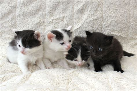 x ragdoll kittens for sale x ragdoll kittens for sale erith kent pets4homes