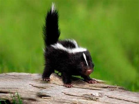 imagenes tiernas de zorrillos 29 fotos de animales beb 233 s que te encantar 225 n noticiastvo com