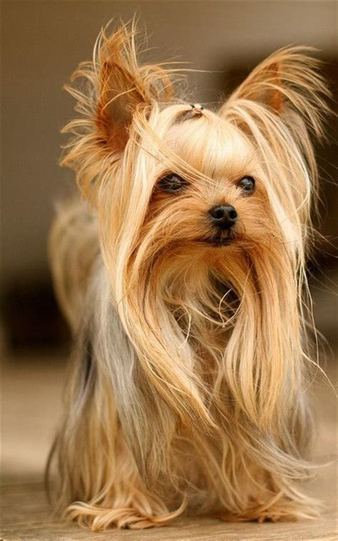 how to layer a long haired yorkie 50 damn cute yorkie haircuts for your puppy hairstylec
