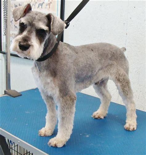 mini schnauser perfect haircut teddy bear cut mini schnauzer google search miniature