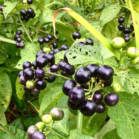 recipe garden huckleberry preserves a nightshade berry tyrant farms