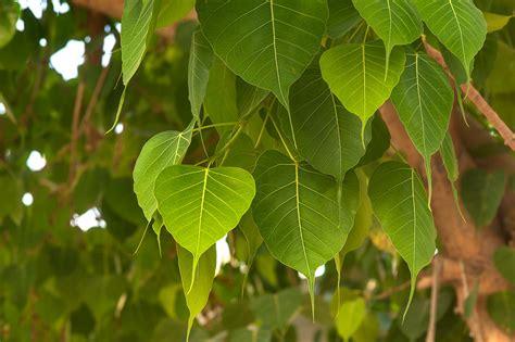 photo 1732 26 sacred fig bo tree ficus religiosa on al