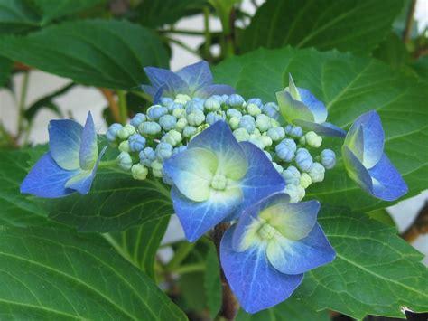 imagenes flores hortensias flores de hortensias im 225 genes y fotos
