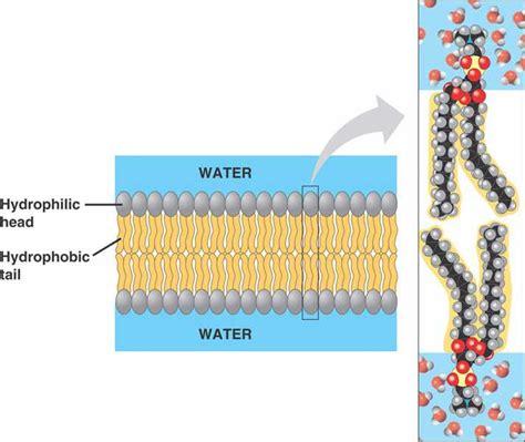 polar hydrophobic tailspolar hydrophilic
