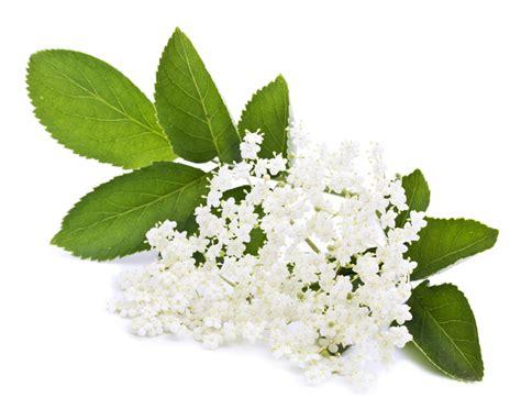 Kitchen Herb by Elderflower Infusion Lush Fresh Handmade Cosmetics Uk