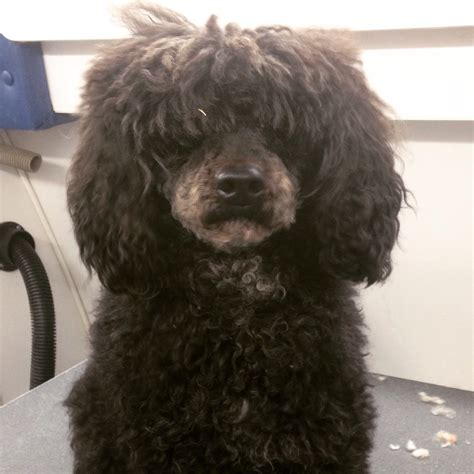lifespan of mini poodle start to finish miniature poodle haircut this groomer s