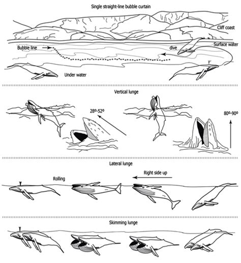 Blue Whale Diagram Bison Diagram Elsavadorla - diagram of a humpback whale 28 images baleen whales