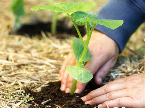 planting pumpkins for when to plant pumpkins hgtv