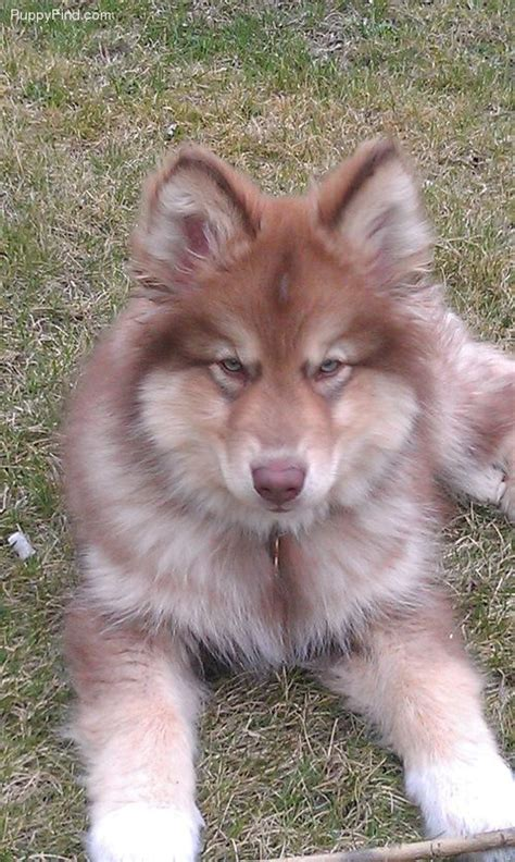 naid puppies american indian hypo allergenic can u believe it so pretty dogs