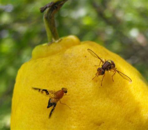 tips pemberantasan hama  penyakit  tanaman jeruk