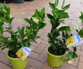 citrus trees patio lemon 200mm pots approx 50 cm
