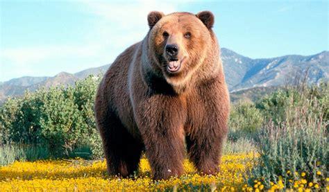 imagenes de leones y osos galer 237 a de im 225 genes im 225 genes de osos