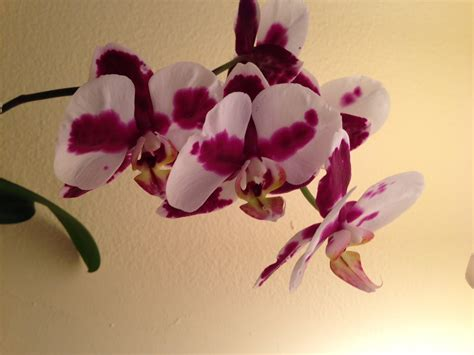 the daily connoisseur re bloom your orchids