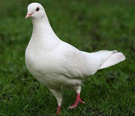 dove vs pigeon doveye blog mouthshut com
