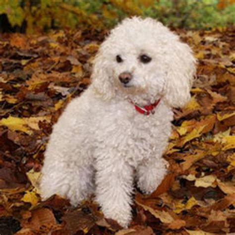 akc miniature poodle puppies for sale miniature poodle puppies for sale from reputable breeders