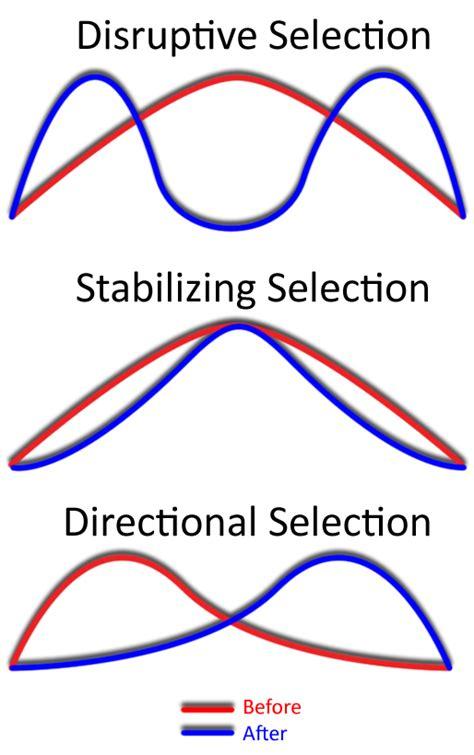 stabilizing selection wikipedia
