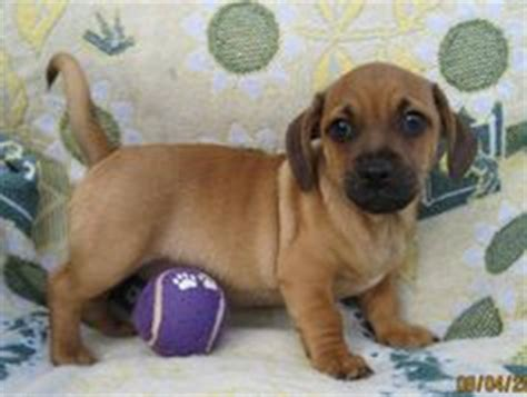 pug and dachshund mix for sale 1000 images about i daug s on dachshund pug and pug mix