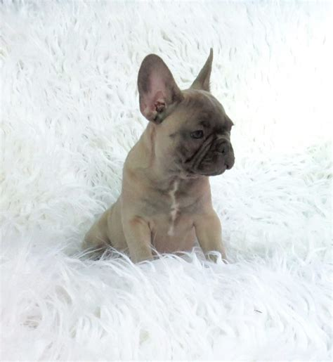 blue fawn bulldog puppies blue bulldog puppies for sale blue frenchies