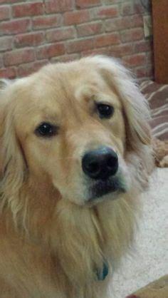 golden retriever eyebrows goldens 3 on golden retrievers golden retriever puppies and dogs