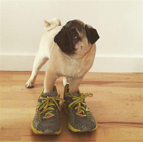 pug in booties pug runs puppy version of boston marathon for charity barkpost