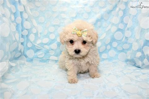cinnamon maltipoo puppies for sale maltipoo for sale breeds picture