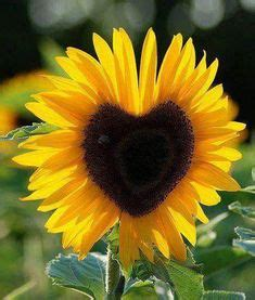 Medium Sun Flower 6 Cav I pink sunflowers pictures pink sunflower photo pink jpg garden plants and beautiful flowers