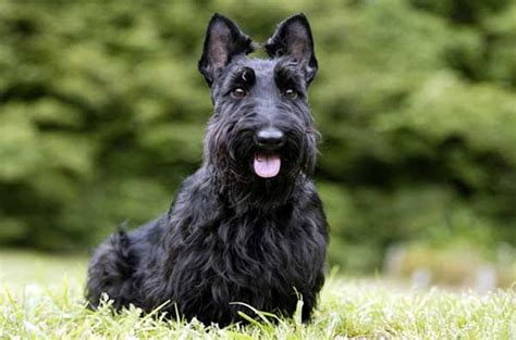 how to give a scottish terrier a hair cut 13 hypoallergenic dog breeds