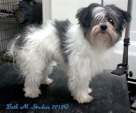 Shih Tzu Matted by 33 Best Images About Shih Tzus Lhasa Before And After