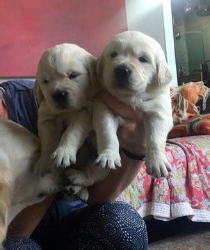 golden retriever puppies for sale in houston view ad golden retriever puppy for sale houston usa