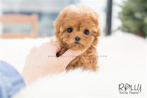 rolly teacup puppies for sale poodle f rolly teacup puppies