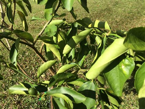 Gardening Forum - citrus tree is dying gardening forums