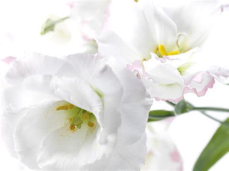 o bianco fiore di bianco colore la voce quartiere