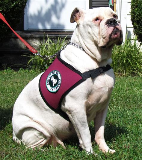 best dogs to as service dogs more than s best friend