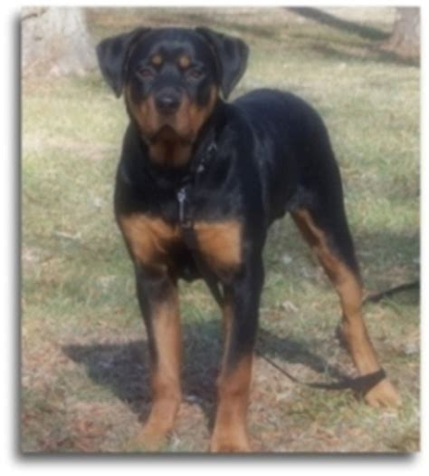 average rottweiler weight rottweiler size at 4 months dogs our friends photo
