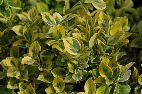Variegated Foliage Plants - mor gold wintercreeper euonymus fortunei mor gold in ottawa nepean kanata stittsville