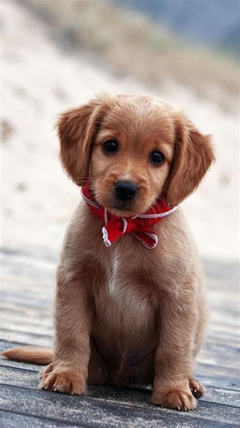 puppies  wallpaper cute puppy pictures android